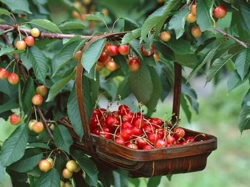 Hoc nguoi My cach trong cherry tai nha cho qua sai triu canh, an quanh nam khong het hinh anh 10