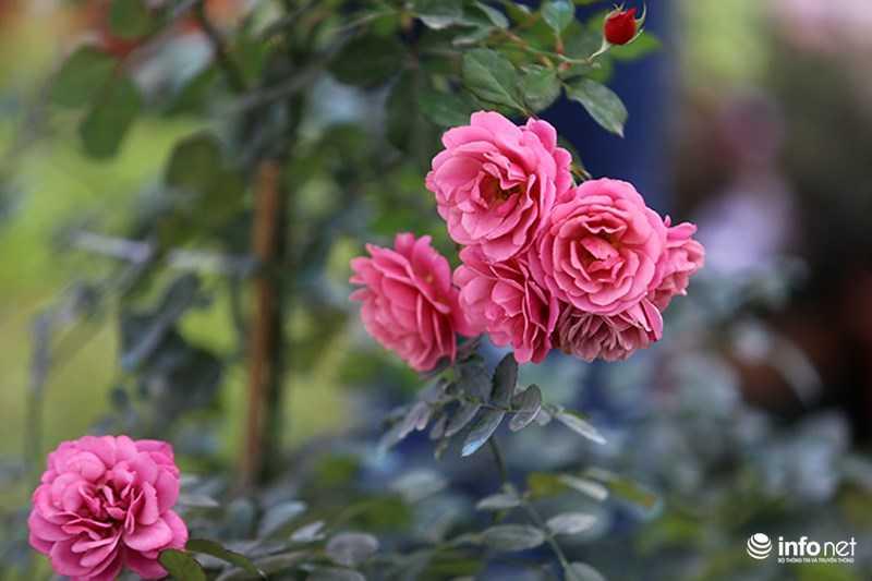 Le hoi hoa hong Bulgaria: Quang cao khac xa thuc te hinh anh 8