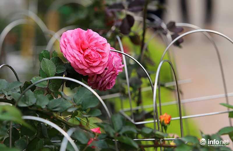 Le hoi hoa hong Bulgaria: Quang cao khac xa thuc te hinh anh 12