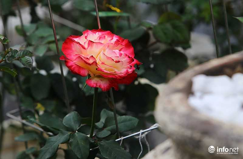 Le hoi hoa hong Bulgaria: Quang cao khac xa thuc te hinh anh 14