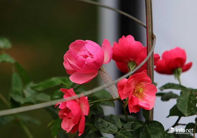 Le hoi hoa hong Bulgaria: Quang cao khac xa thuc te hinh anh 15