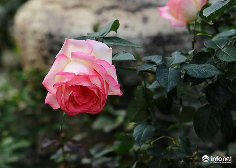 Le hoi hoa hong Bulgaria: Quang cao khac xa thuc te hinh anh 16
