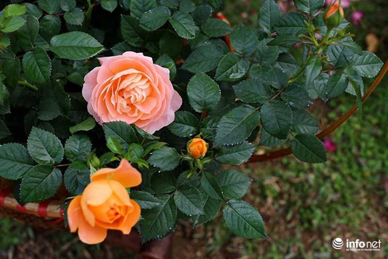 Le hoi hoa hong Bulgaria: Quang cao khac xa thuc te hinh anh 18