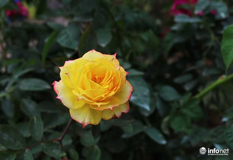 Le hoi hoa hong Bulgaria: Quang cao khac xa thuc te hinh anh 19