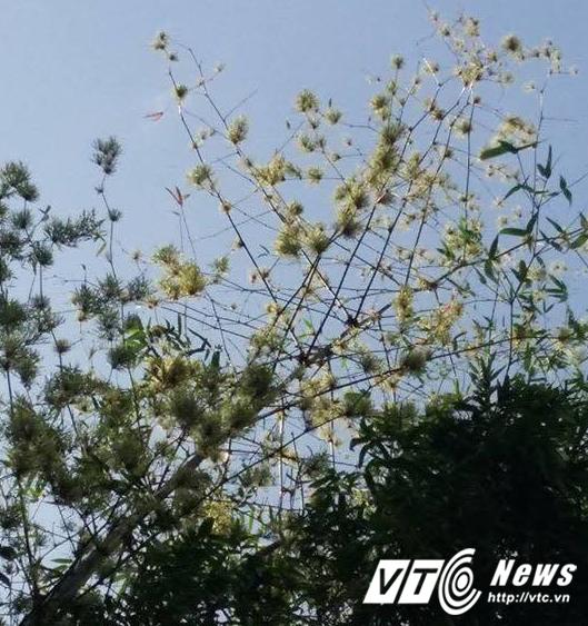 Bụi tre tram nam nỏ hoa trúng dịp 30/4 tại Quảng Nam hinh anh 2