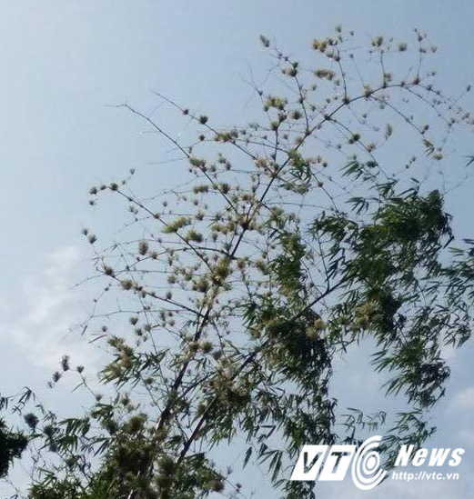 Bụi tre tram nam nỏ hoa trúng dịp 30/4 tại Quảng Nam hinh anh 3