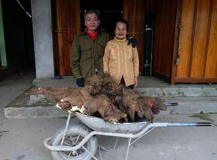 Đào được củ khoai vạc nặng 37kg, cụ ông giữ lại nấu chè đãi cả làng