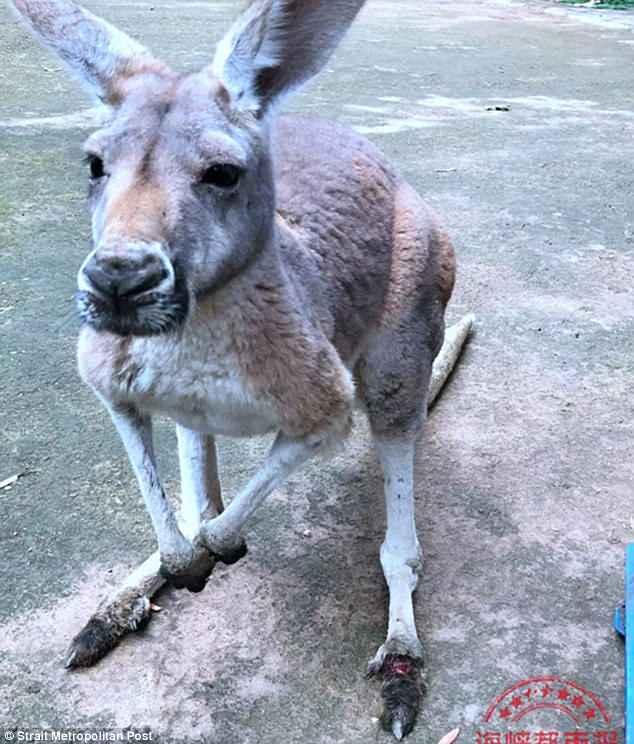Du khach Trung Quoc nem da chet kangaroo trong vuon thu hinh anh 2