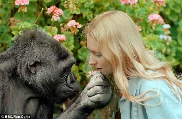 Koko – chu khi dot co kha nang giao tiep voi con nguoi da qua doi hinh anh 1
