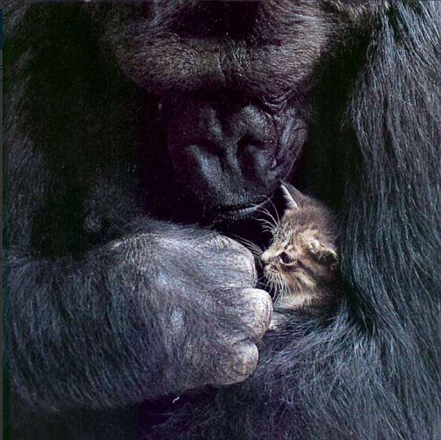Koko – chu khi dot co kha nang giao tiep voi con nguoi da qua doi hinh anh 2