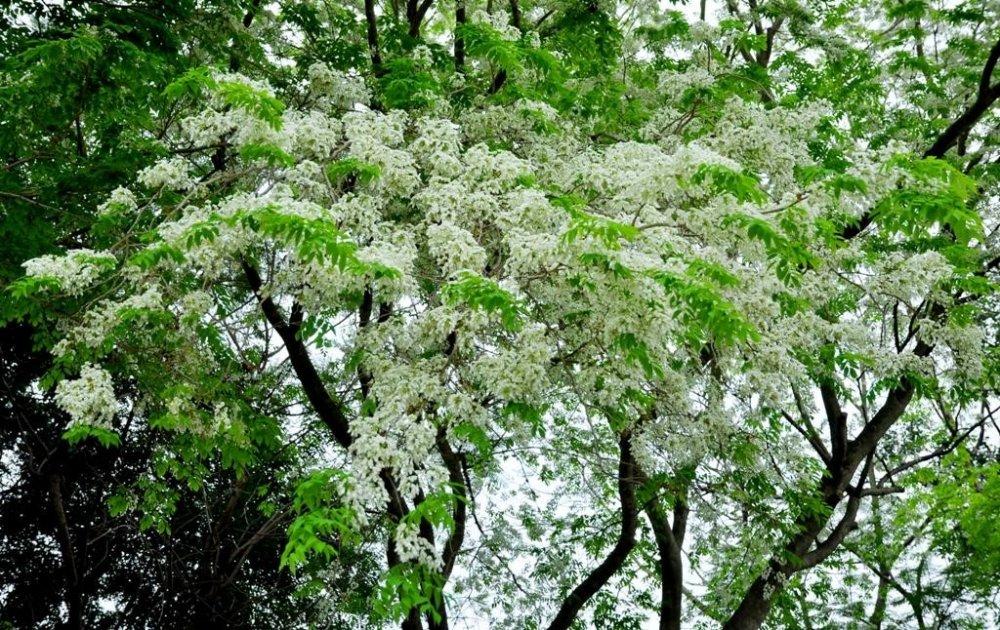 Thang 3 cham ngo Ha Noi, dep vo cung voi nhung mua hoa lung linh hinh anh 2