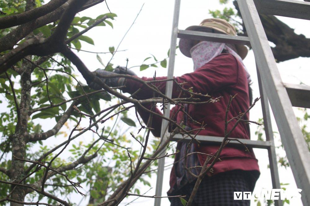 Hoa mai trung Tet gia 600 trieu dong/cay ban tai via he Sai Gon hinh anh 13