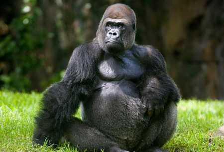 King Kong trong phim Holywood: Lieu co ton tai khi dot lon den vay? hinh anh 1