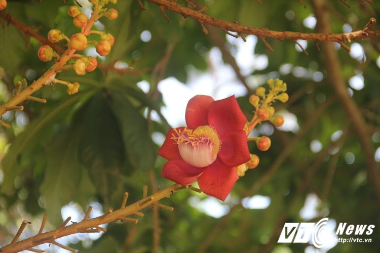 Anh: Hoa vo uu do ruc truoc cua chua Thien Mu khien du khach dam say hinh anh 3