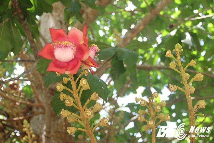 Anh: Hoa vo uu do ruc truoc cua chua Thien Mu khien du khach dam say hinh anh 11