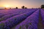 'Xiêu lòng' khi ngắm các đồng hoa tuyệt đẹp nổi tiếng trên thế giới