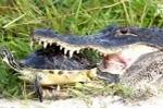 Rùa bé nhỏ thoát hàm cá sấu ngoạn mục nhờ bộ mai cứng