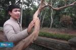 Video: Cây ổi gần 100 tuổi 'gãi là cười' ở di tích Lam Kinh, Thanh Hóa