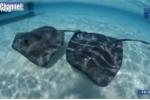 Đang bơi ở biển bị cá đuối điện tấn công thiệt mạng?