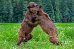 Thú vị cảnh gấu nâu đánh nhau dữ dội, bỗng dừng ôm ấp