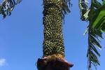 Dân Hà Tĩnh đổ xô đi xem cây chuối lạ trổ buồng hơn 350 nải