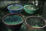 Rùng mình rau muống ngâm hóa chất chợ Kim Biên bán cho nhà hàng
