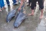 Ngư dân Hà Tĩnh chôn cất xác 2 con cá heo trên bờ biển