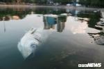 Ảnh: Cá chết nổi trắng mặt hồ Hoàng Cầu, Hà Nội