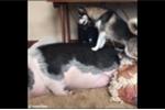 Clip: Chó Husky nỗ lực đánh thức chú lợn đang ngủ say