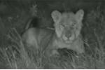 Video: Bị sư tử tấn công, tê tê cuộn tròn nằm im khiến kẻ thù bất lực
