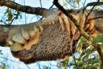 Lạc gần 1 tuần trên núi, người đàn ông ăn ong sống sót kỳ diệu