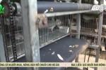Video: Xem băng chuyền tự chế thu gom phân chim bồ câu của ông chủ đất Kinh Bắc
