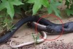 Nổi da gà xem clip rắn đen ăn thịt đồng loại không thành, quằn quại nhả ra một con rắn sống