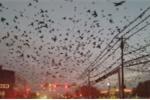 Video: Cư dân phát hoảng khi bầy chim bay đen kịt bầu trời như phim viễn tưởng