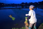 Nông dân Hà Nội cấy lúa từ sáng sớm để tránh nắng nóng