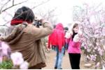 Clip, ảnh: Thiếu nữ Hà thành đổ xô chụp ảnh hoa đào