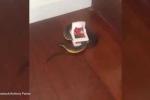 Kinh hãi phát hiện rắn hổ mang vào nhà... sập bẫy chuột