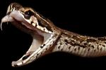 Kinh hãi loài rắn độc sống ở Việt Nam biến người lớn thành trẻ con chỉ bằng 1 vết cắn