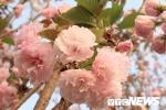 Ảnh: Chiêm ngưỡng hoa anh đào Nhật Bản, mai vàng Yên Tử đua sắc