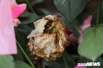Hoa hồng héo úa trong ngày đầu diễn ra lễ hội ở Hà Nội