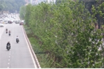 Video: Hàng cây lá phong mới trồng trổ lá xanh mướt trên phố Hà Nội