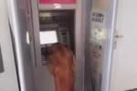 Video: Chú chó lúi húi rút tiền ở ATM gây sốc cộng đồng mạng