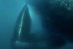 Video: Cá voi xanh nuốt chửng đàn cá khổng lồ