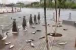 Hàng trăm con cá mè nhảy loạn xạ, 'tự sát tập thể' vì lý do không thể tin nổi