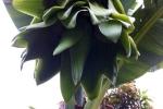 Cây chuối trổ buồng kỳ lạ chưa từng thấy