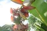 Cây chuối lạ trổ nhiều búp trên một buồng ở Nghệ An