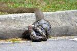 Clip: Hổ mang chúa bị trăn 'khủng' siết chặt giữa phố