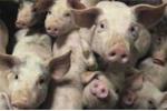 Bãi trung chuyển lợn 'đầu độc' nguồn nước