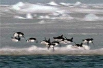 Cười té ghế clip chim cánh cụt biết bay