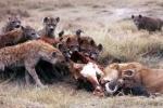 Clip: Sư tử và linh cẩu đại chiến giành xác trâu rừng